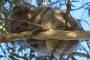 Kennett River – Where The Wild Koalas live!