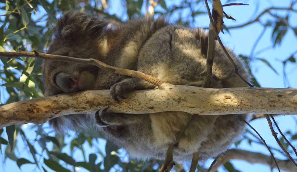 Koalas at Kennett River Great Ocean Road