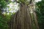 Curtain Fig Tree – Atherton Tablelands – Faszinierende Bäume Australiens!