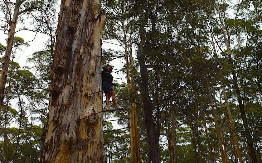 Pemberton Climbing Tree im Kauri Forest in Western Australia