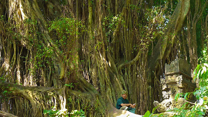 Strangler Fig at Monkey Forest in Ubud Bali