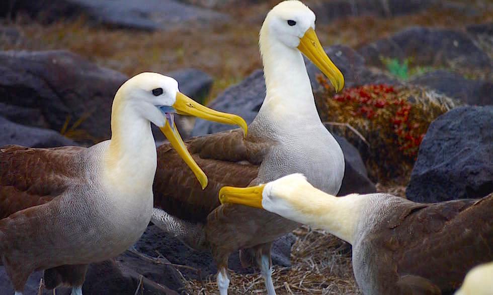 Albatrosse auf Espanola Island - Suarez Point- Galapagos Inseln Ecuador