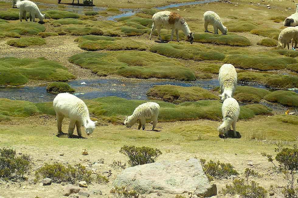 Von Arequipa nach Chivay: Alpakas in der Pampa Canahuas - Peru