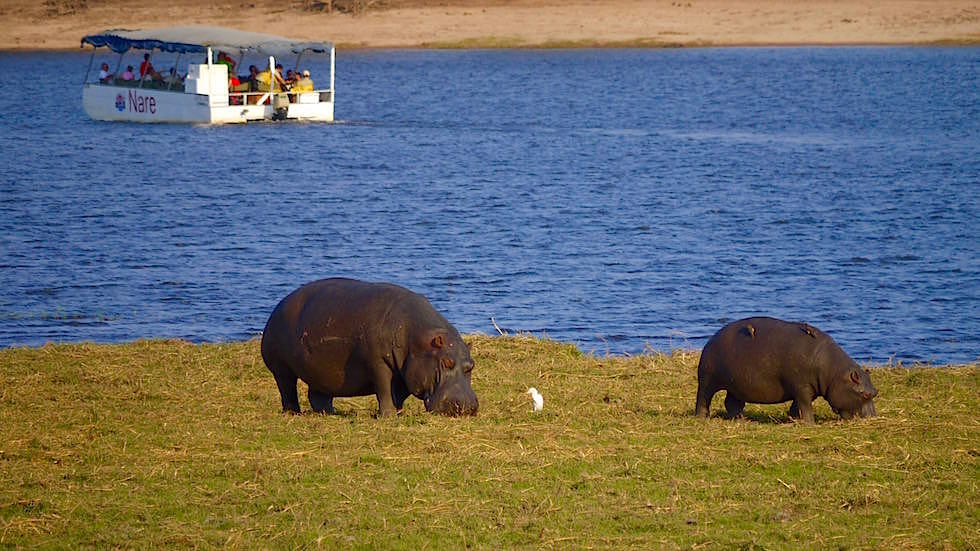 Nilpferde & Boot - Chobe River Cruise - Chobe National Park in Botswana