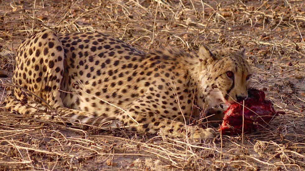 Geparden beim Fressen - Geparden Farm - Namibia Afrika