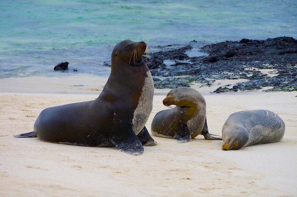 Seelöwen Familie - Cerro Brujo - Galapagos San Cristobal