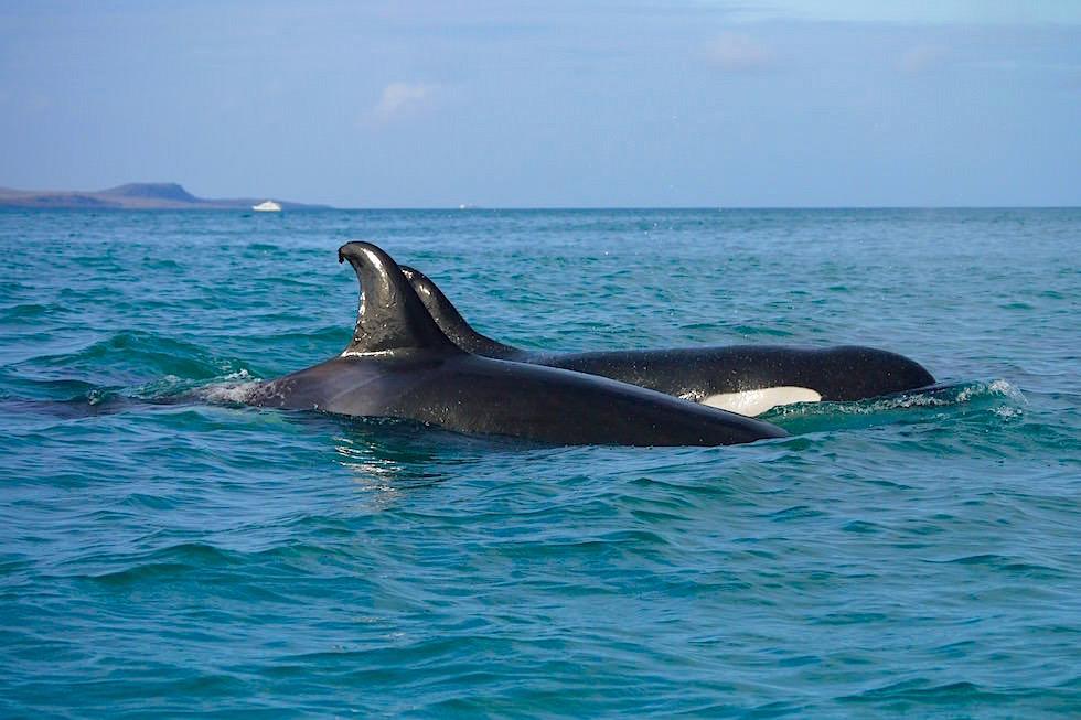 Orcas, Schwertwale vor der Küste von San Cristobal - Galapagos