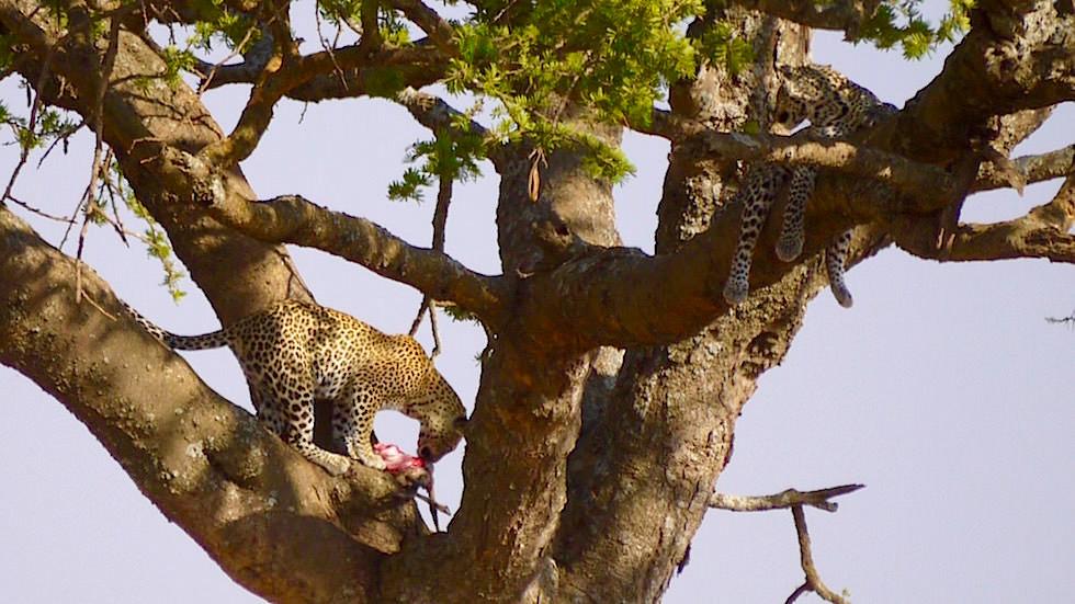 Leopard beim Fressen auf dem Baum Nahaufnahme - Serengeti National Park - Tanzania