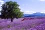 Bridestowe Lavendel Farm: Ein Leben im Lavendelduft – Blüte, Ernte & Lavendelöl!