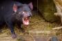 Tasmanian Devil Unzoo – Tasmanische Teufel & Tasmaniens Wildlife ganz anders erleben!