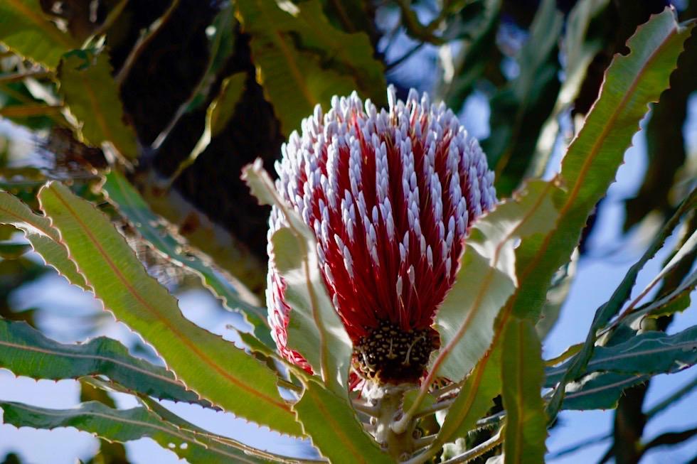 Wildblumen: die wunderschön, leuchtende Firewood Banksia oder Banksia menziesii - Lesueur NP - Western Australia