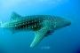 Schnorcheln mit Walhaien & gigantischen Mondfischen – Eine Coral Bay Sensation!