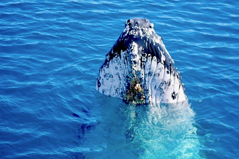 Die beste Walbeoboachtungstour in Hervey Bay: Freedom Whale Watch - einen ganzen Tag Wale beobachten von der Freedom III - Queensland