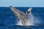 Faszination Buckelwale! – Wale beobachten in Augusta, Margret River