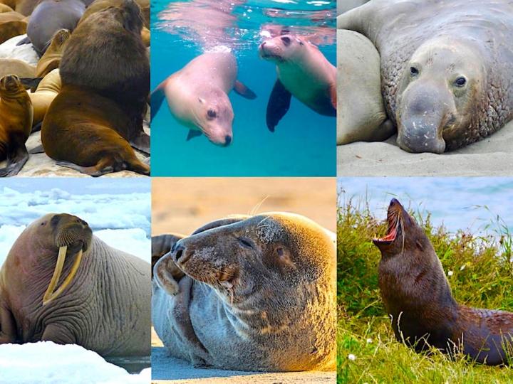 Unterschied Seehunde Seelöwen Seebären - Passenger On Earth