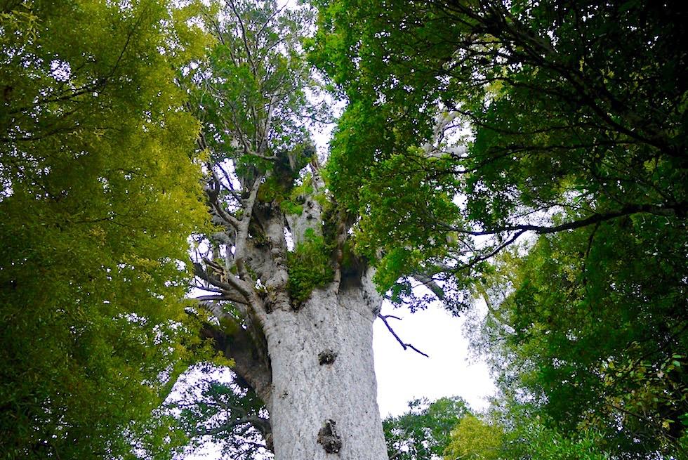 Waipoua Forest - Tane Mahuta: Herrscher des Waldes - Northland - Nordinsel Neuseeland
