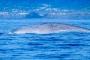 Walbeobachtung auf Pico – beste Azoreninsel für Blauwale, Finnwale, Pottwale