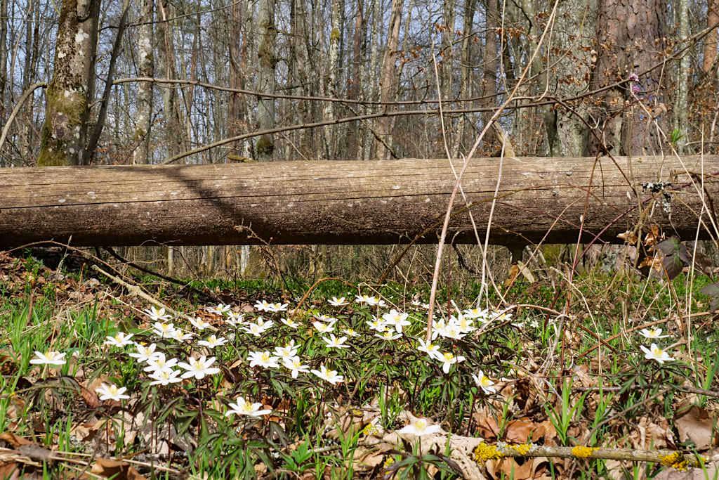 Frühlingsblumen auf der TraumSchlaufe Eichstätt Wanderung Nr. 14- Altmühltal, Bayern