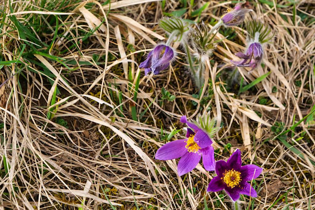 Frühlingsblüher Küchenschelle - TraumSchlaufe Eichstätt Wanderung im Naturpark Altmühltal - Bayern