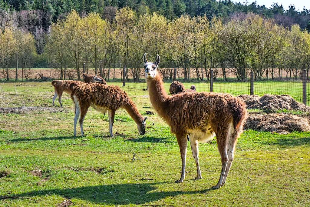 Lamas in Erasbach - Bayern