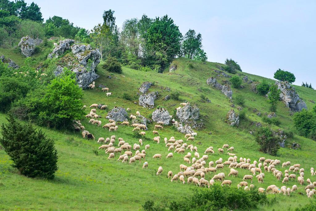 Typisches Bild an den Hanglagen vom Donau-Ries: Schafe, Magerrasen, Heidelandschaften & Wanderschäfer - Bayern